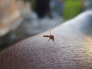 Mosquito, Insectes, Dengue
